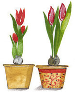 Timeless-Tulipa
