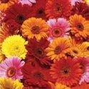 papieren-servetten-Nouveau-bloemen-GERBERA-rood-oranje-geel-roze-33x33cm