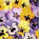 papieren-servetten-Nouveau-bloemen-PANSIES-geel-paars-pink-roze-33x33cm